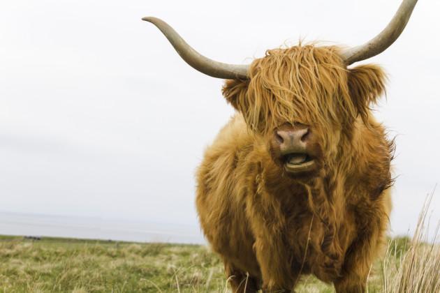 Cow-Highland